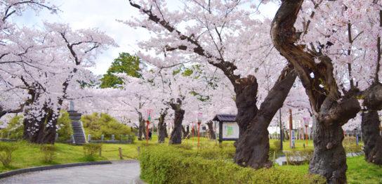 鶴岡市の花見は鶴岡桜まつり(鶴岡公園)